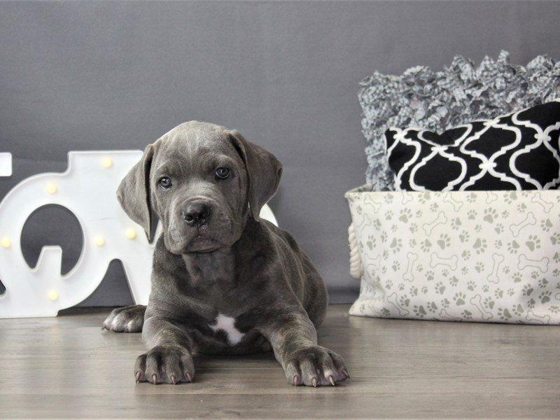 Cane Corso-DOG-Male-Blue Brindle-3199790-Petland Carriage Place