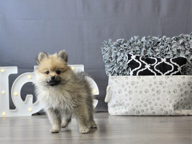 Pomeranian-DOG-Female-Sable-3110119-Petland Carriage Place