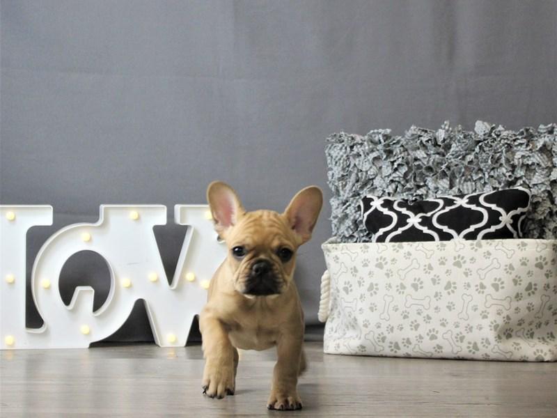 French Bulldog-DOG-Male-Fawn-3120880-Petland Carriage Place