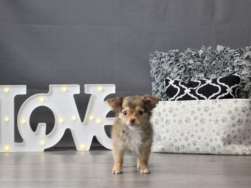 Chihuahua-DOG-Male-Chocolate-3131384-Petland Carriage Place