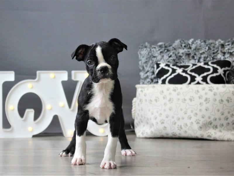 Boston Terrier-Female-Black / White-3152390-Petland Carriage Place
