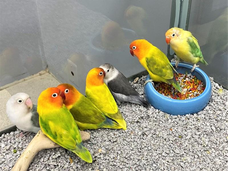 lovebird-BIRD--peach face-2992389-Petland Carriage Place