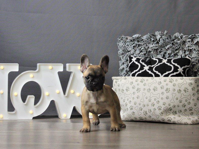 French Bulldog-DOG-Female-Fawn-3162268-Petland Carriage Place