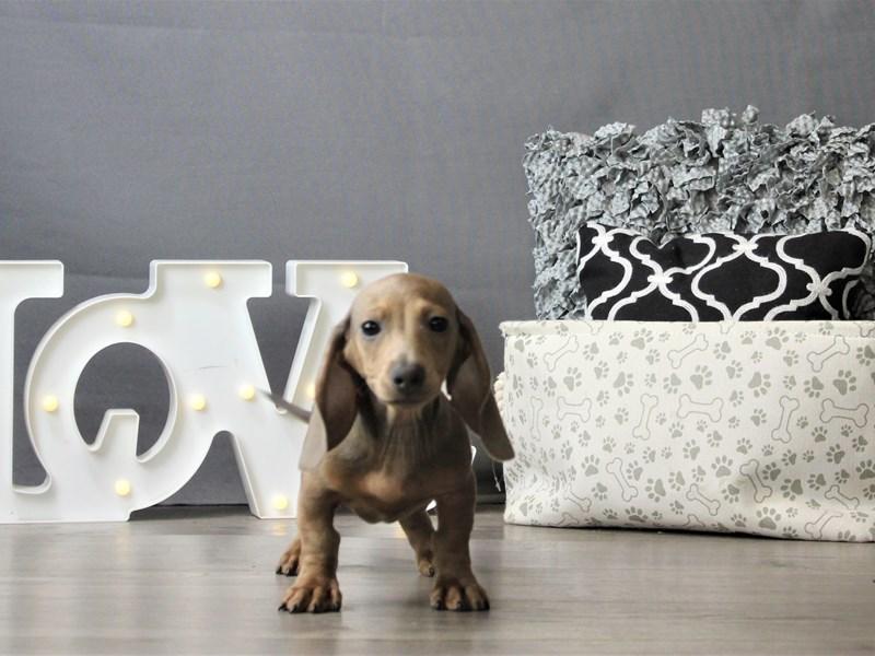 Dachshund-DOG-Male-Blue Fawn-3162135-Petland Carriage Place