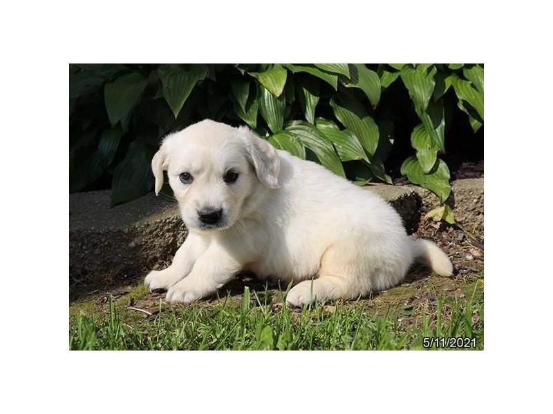 Golden Retriever-DOG-Female-Cream-3172133-Petland Carriage Place