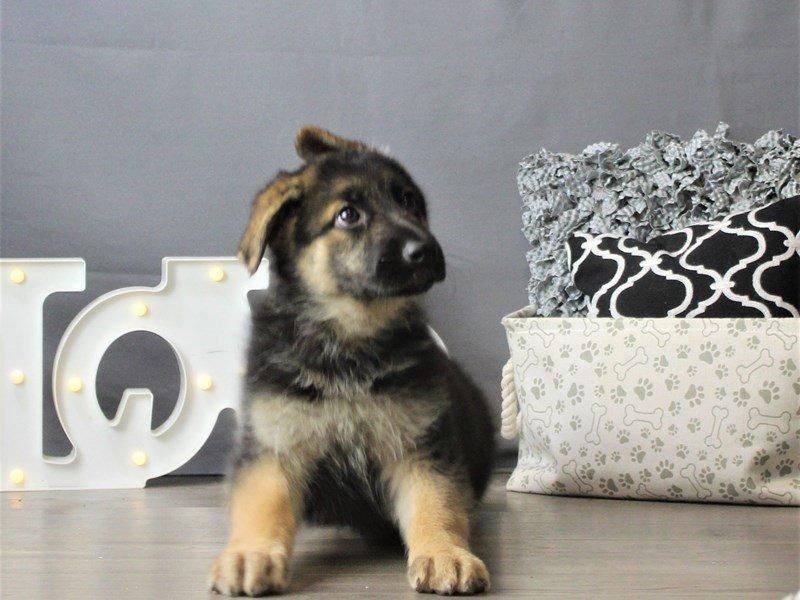 German Shepherd Dog-DOG-Female-Black / Tan-3180769-Petland Carriage Place