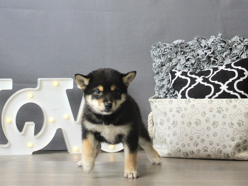 Shiba Inu-Female-Black / White-3180826-Petland Carriage Place