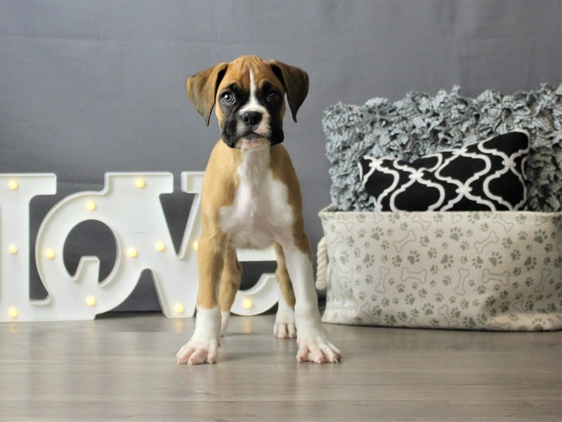 Boxer-Male-Fawn-3180772-Petland Carriage Place