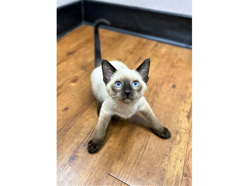 Siamese-Male-Seal Point-3164858-Petland Carriage Place