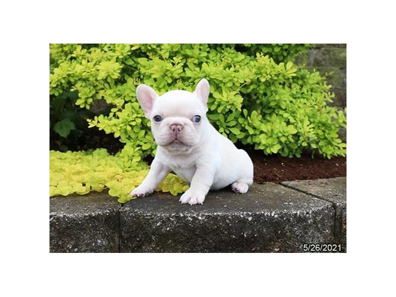 French Bulldog-DOG-Male-Cream-3189576-Petland Carriage Place
