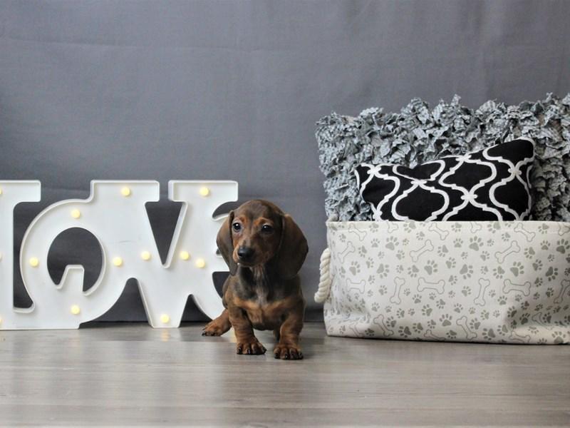 Dachshund-DOG-Female-Wild Boar-3189573-Petland Carriage Place
