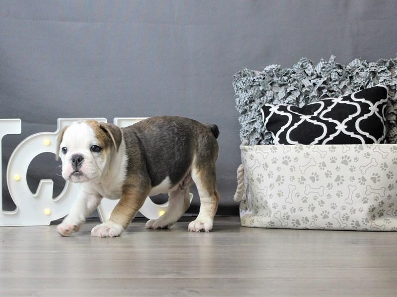 Bulldog-DOG-Male-Gray Fawn-3189566-Petland Carriage Place