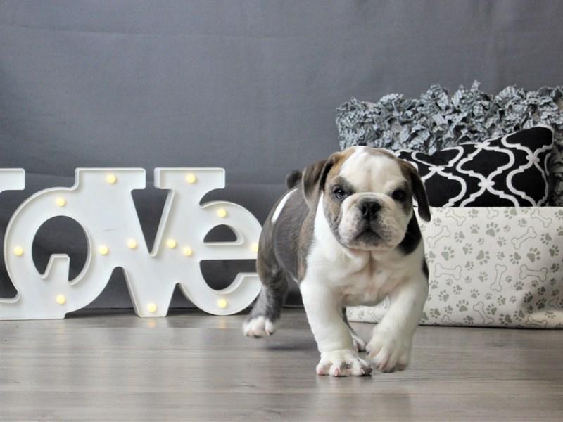 Bulldog-DOG-Male-Gray Fawn-3189563-Petland Carriage Place