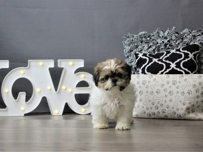 Shih Tzu-DOG-Female-Brindle / White-3199341-Petland Carriage Place