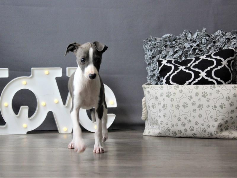 Italian Greyhound-Female-Blue/ White-3199803-Petland Carriage Place