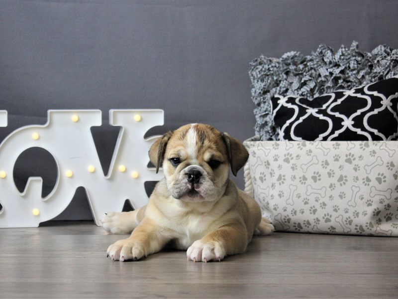 English Bulldog-DOG-Female-Fawn/ White-3199827-Petland Carriage Place