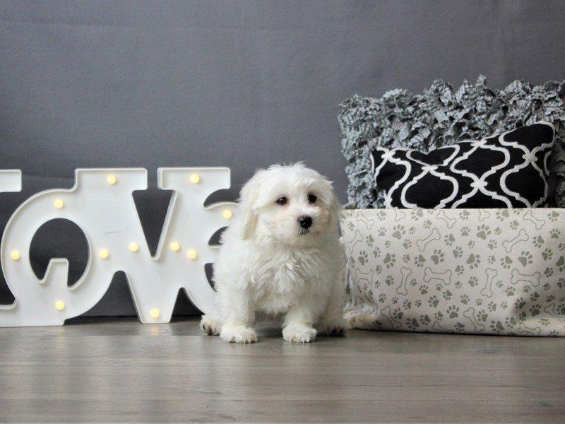 Coton De Tulear-DOG-Male-White-3199337-Petland Carriage Place