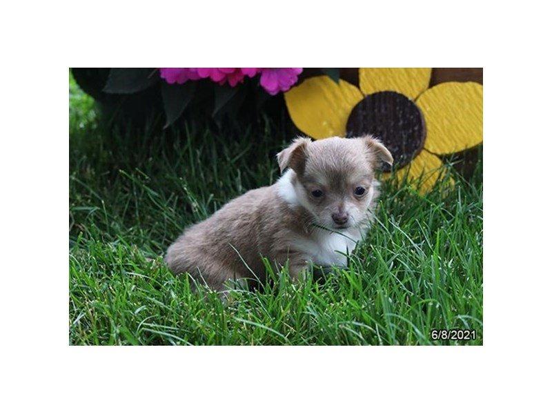 Chihuahua-DOG-Female-Blue Fawn-3208630-Petland Carriage Place