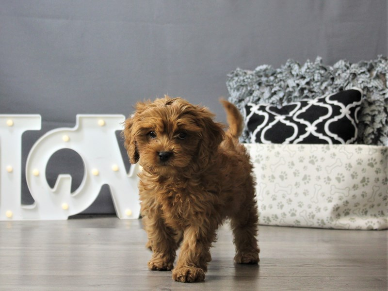Cavalier King-Male-Ruby-3208675-Petland Carriage Place