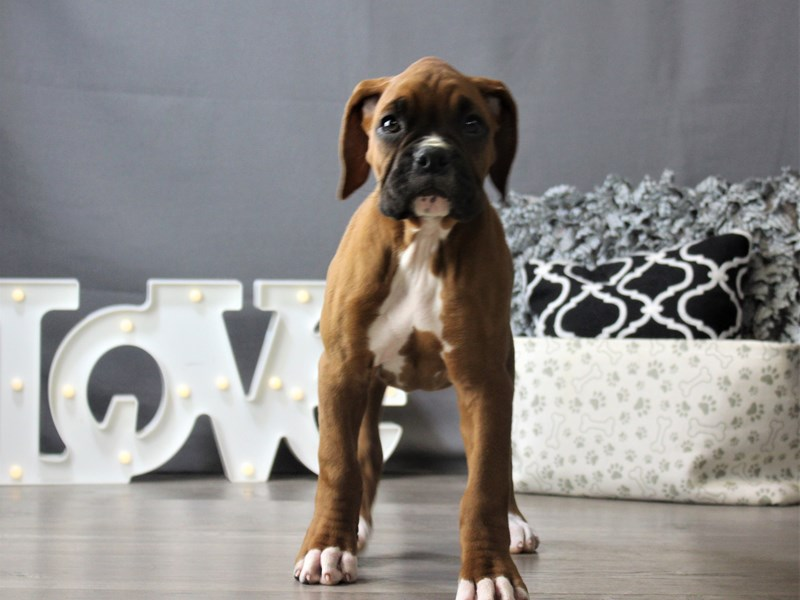 Boxer-DOG-Female-Fawn / White-3208619-Petland Carriage Place