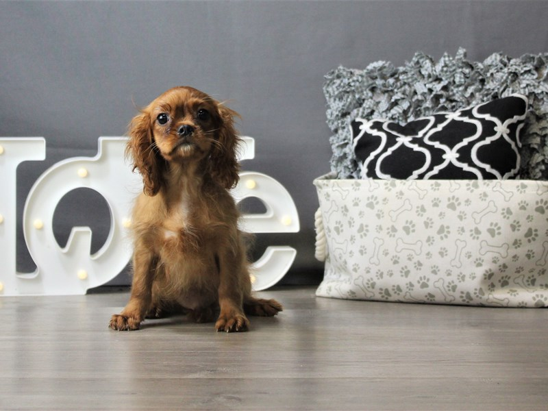 Cavalier King Charles Spaniel-Male-Ruby-3208613-Petland Carriage Place