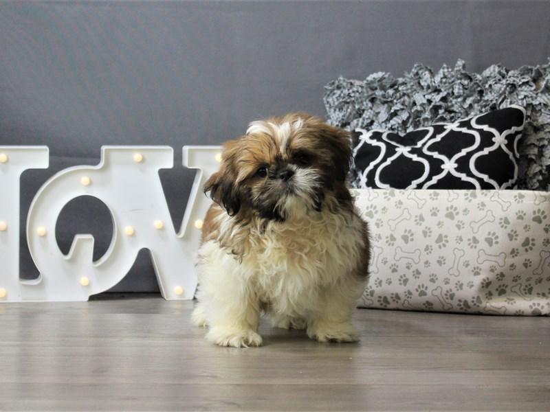 Shih Tzu-DOG-Male-Sable / White-3208612-Petland Carriage Place