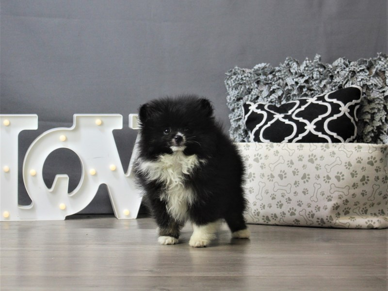 Pomeranian-DOG-Male-Black-3208633-Petland Carriage Place