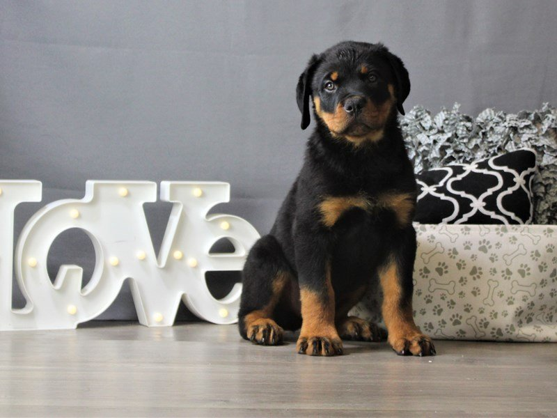 Rottweiler-DOG-Male-Black / Tan-3208626-Petland Carriage Place