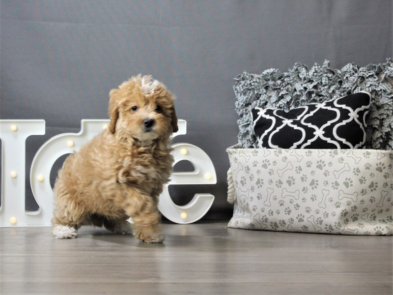 Goldendoodle-Female-Red-3208624-Petland Carriage Place