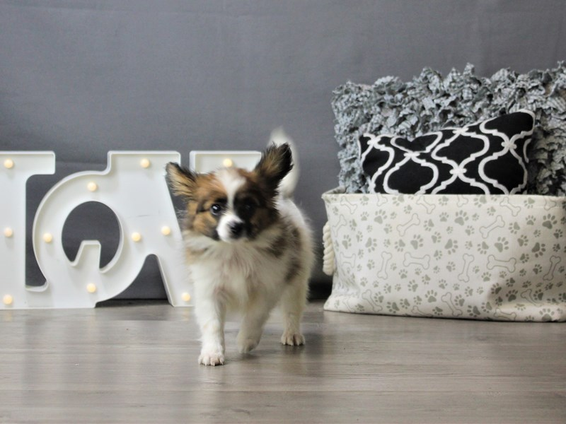 Papillon-Male-Red / White-3208638-Petland Carriage Place