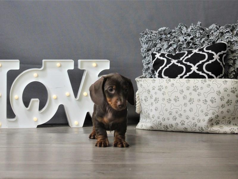 Dachshund-DOG-Male-Chocolate and Tan-3208623-Petland Carriage Place