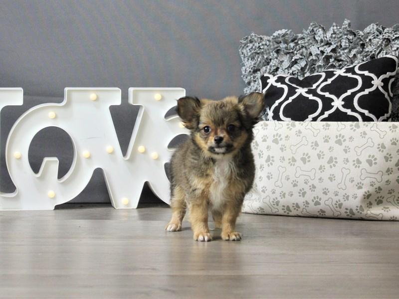 Chihuahua-DOG-Male-Dark Sable-3208632-Petland Carriage Place