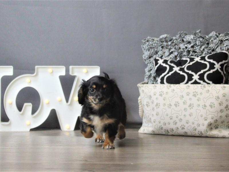 Chiweenie-DOG-Male-Black/ Tan-3218506-Petland Carriage Place