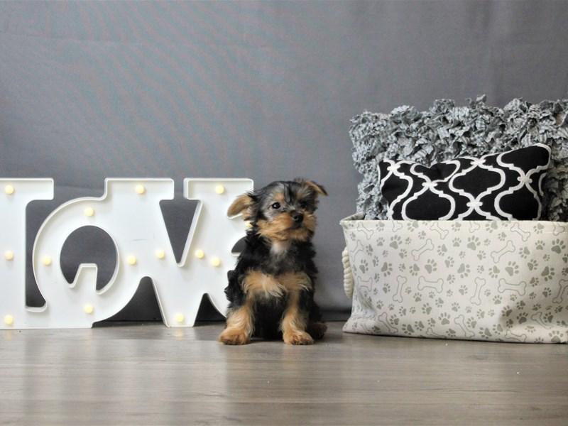 Silky Terrier-Female-Black / Tan-3218365-Petland Carriage Place