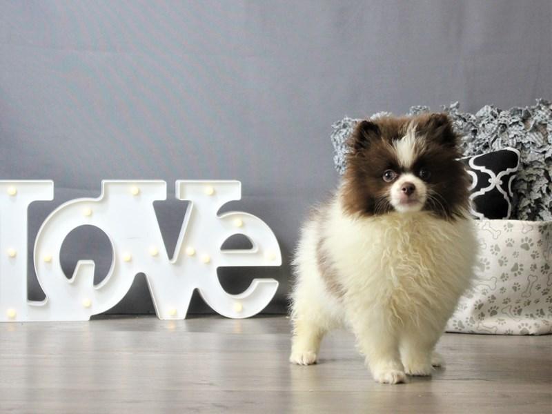 Pomeranian-DOG-Male-Chocolate / White-3218373-Petland Carriage Place