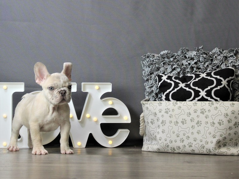 French Bulldog-DOG-Male-Merle-3218380-Petland Carriage Place