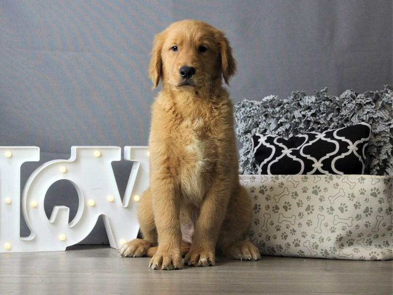 Golden Retriever-DOG-Male-Golden-3218503-Petland Carriage Place