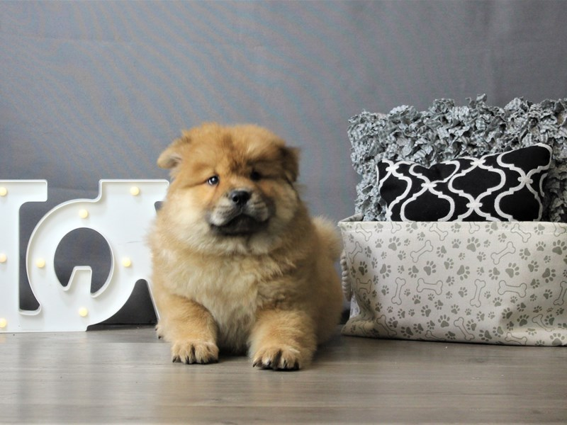 Chow Chow-Female-Red-3218367-Petland Carriage Place