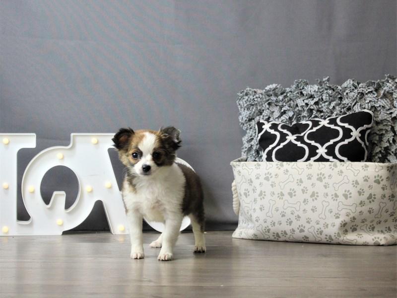 Chihuahua-DOG-Male-Sable-3218375-Petland Carriage Place