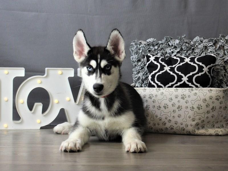 Siberian Husky-DOG-Female-Black / White-3228578-Petland Carriage Place