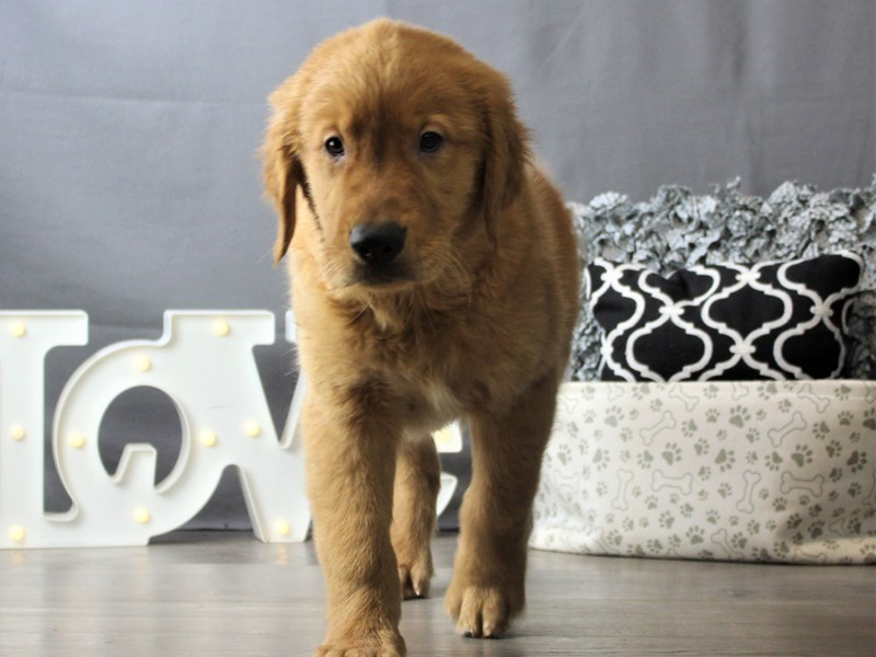 Golden Retriever-DOG-Male-Golden-3218603-Petland Carriage Place