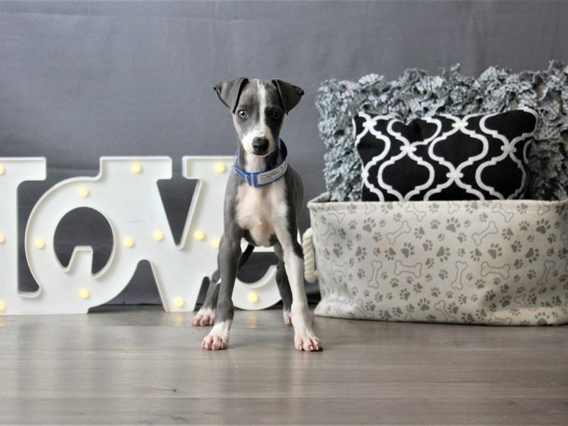 Italian Greyhound-Male-Blue-3227931-Petland Carriage Place