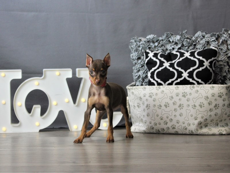Miniature Pinscher-Female-Chocolate and Tan-3227923-Petland Carriage Place