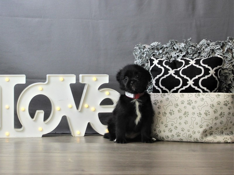 Skip Tzu-DOG-Female-Black-3227929-Petland Carriage Place