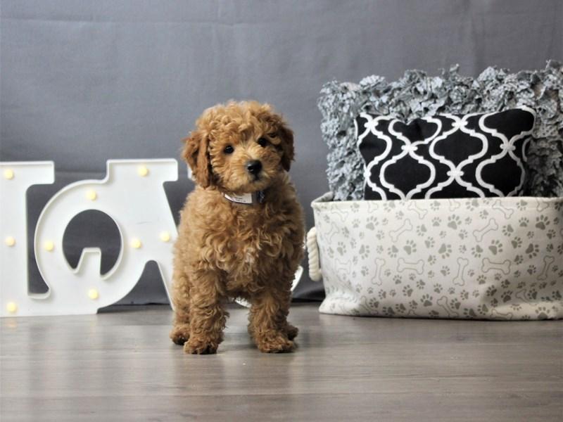 Goldendoodle Mini 2nd Gen-DOG-Male-Golden-3227927-Petland Carriage Place