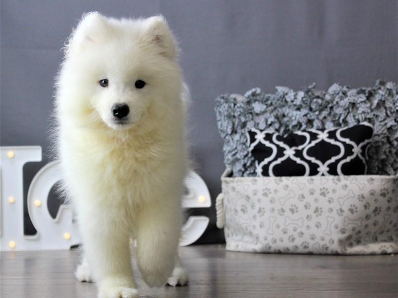 Samoyed-Female-White-3237658-Petland Carriage Place