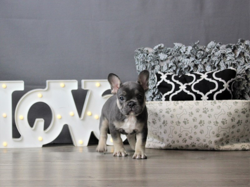 French Bulldog-DOG-Female-Blue / Tan-3237650-Petland Carriage Place