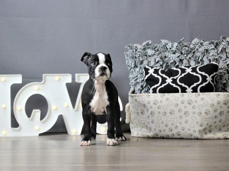 Boston Terrier-Female-Black / White-3237677-Petland Carriage Place