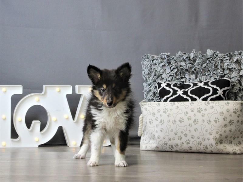 Shetland Sheepdog-DOG-Male-Tri-Colored-3120885-Petland Carriage Place