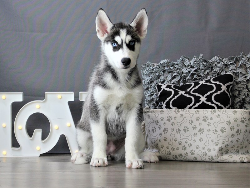 Siberian Husky-Female-Black / White-3189567-Petland Carriage Place